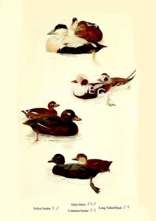 Eider Duck, Velvet Scoter, Common Scoter & Long Tailed Duck